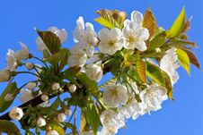 Apple Blossom In Bloom Royalty Free Stock Image