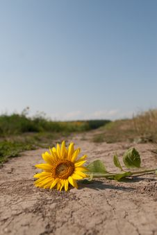 Free A Torn Sunflower Royalty Free Stock Photo - 21114695