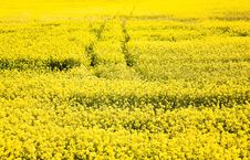 Free Rape Field Stock Photo - 21114840