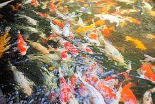 Free Koi Carp Fish Stock Images - 21115554