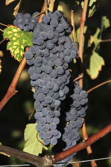 Free Bunches Of Red Grapes Stock Photography - 21115742