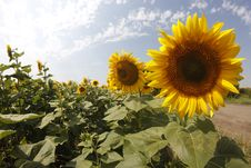 Free Two Sunflowers Stock Images - 21115754