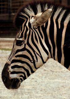 Free Zebra Royalty Free Stock Images - 21116179