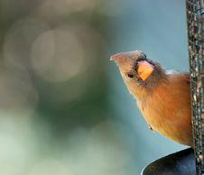 Free Closeup Of Cardinal Royalty Free Stock Photo - 21116215