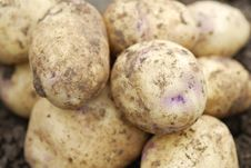 Free Freshly Harvested Organic Allotmen Potatoes. Royalty Free Stock Images - 21116339