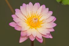 Free Close-up Of Beautiful Pink Lotus Stock Image - 21117121