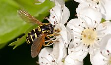 Free Macro Wasp. Closeup Stock Images - 21117804
