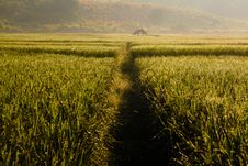 Free Farmhouse At Paddy Field Stock Images - 21118254