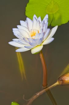 Free Close-up Of Beautiful Violet Lotus Stock Image - 21118291