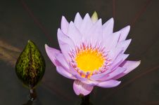 Free Close-up Of Beautiful Violet Lotus Royalty Free Stock Photo - 21118515