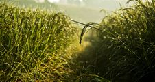 Free Dew Of Paddy Field In The Morning Royalty Free Stock Photo - 21118565