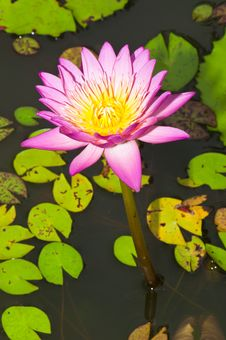 Free Close-up Of Beautiful Pink Lotus Stock Image - 21118571