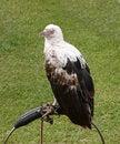 Free Bird Of Prey. Royalty Free Stock Photo - 21120735