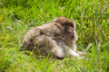 Free Barbary Macaque Royalty Free Stock Image - 21121256
