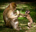 Free Barbary Macaque Stock Photography - 21121322