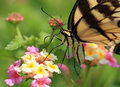 Free Butterfly Swallowtail Stock Images - 21124454