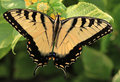 Free Butterfly Swallowtail Stock Photos - 21124483