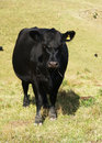 Free Black Cow Stock Photo - 21126950