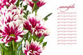 Free Red Chrysanthemums Royalty Free Stock Photography - 21128777