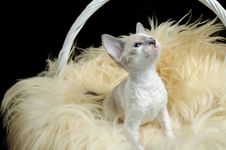 Free Cute Cornish Rex Kitten In Basket Royalty Free Stock Photography - 21120067
