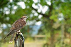 Free Falcon,falco Cherrug . Stock Photography - 21120382