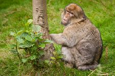 Free Barbary Macaque Royalty Free Stock Image - 21121276