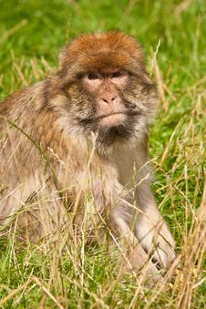 Free Barbary Macaque Stock Images - 21121294