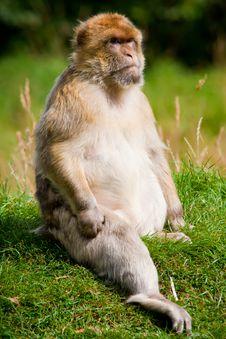Free Barbary Macaque Stock Photo - 21121310