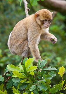 Free Barbary Macaque Royalty Free Stock Photo - 21121335