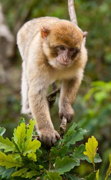 Free Barbary Macaque Royalty Free Stock Photography - 21121347