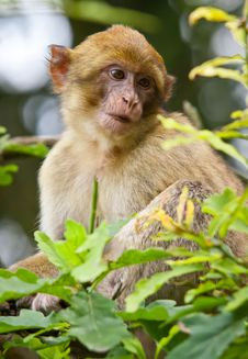 Free Barbary Macaque Royalty Free Stock Photography - 21121357