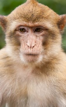 Free Barbary Macaque Stock Images - 21121384