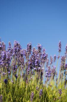 Free Lavender Heaven Royalty Free Stock Image - 21121736