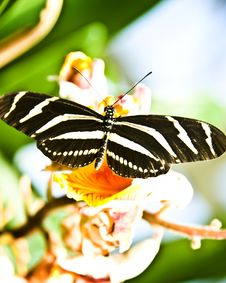 Free Stripped Butterfly Stock Image - 21124561