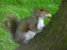 Free Squirrel Stock Photos - 21125063