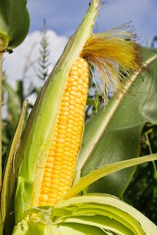 Close Up Corn On The Stalk Stock Photography