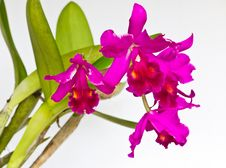 Free Purple Orchid Flower Royalty Free Stock Images - 21125789