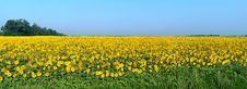 Panoramic Wide Field With Blossoming Sunflowers Royalty Free Stock Photos