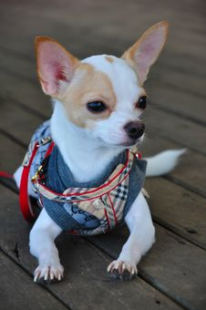 Free Chihuahua Stock Photography - 21126882