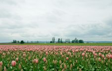 Free Tulip Field Stock Photography - 21126892