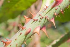 Free Closeup Of Rose Branch With Thorns Royalty Free Stock Images - 21127339