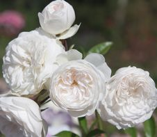 Free White Roses In A Park, Closeup Royalty Free Stock Photo - 21127425