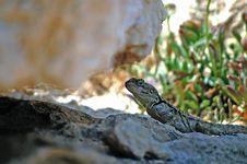 Free Lizard Royalty Free Stock Photos - 21129048