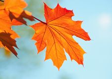 Free Beautiful Maple Leaf Royalty Free Stock Image - 21129246