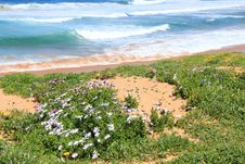 Free Wildflowers Growing On Beach Dune Royalty Free Stock Image - 21129416