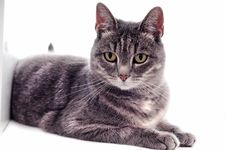 Free Beautiful Grey Brown White Striped Cat Royalty Free Stock Images - 21129959