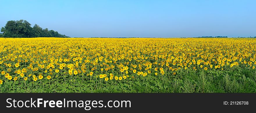 Panoramic wide field with blossoming sunflowers