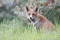 Free Red Fox Royalty Free Stock Photo - 21131325