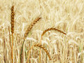 Free Wheat Field Stock Photos - 21132663