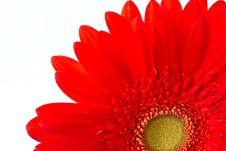 Free Red Gerbera Stock Photo - 21130060
